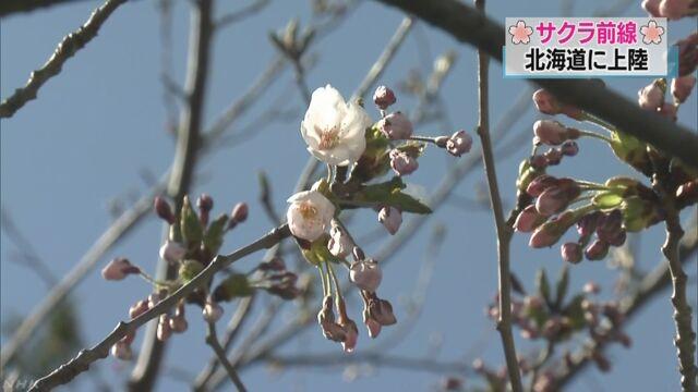 北海道でも桜が咲き始める-いちばん南の松前町が発表