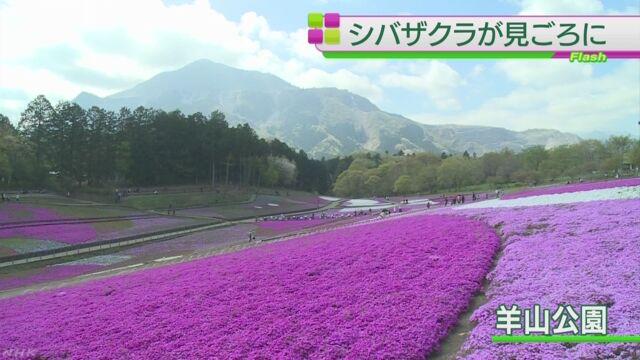 埼玉県秩父市-シバザクラの花がたくさん咲く