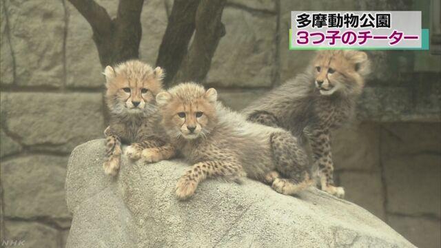 多摩動物公園「チーターの3匹の赤ちゃんを見に来て」