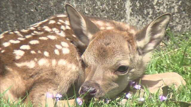 奈良公園で今年初めて鹿の赤ちゃんが生まれる
