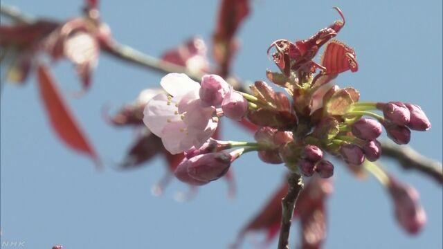 北海道釧路市 日本でいちばん遅く桜が咲いた