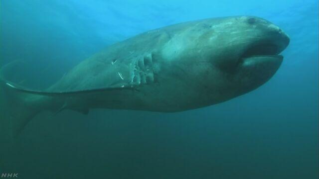 口が大きい「メガマウス」というサメが千葉県で見つかる