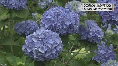 沖縄 100歳のおばあさんが育てたあじさいの花が咲く