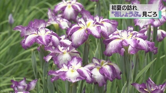 東京都青梅市 「花しょうぶ」がたくさん咲く
