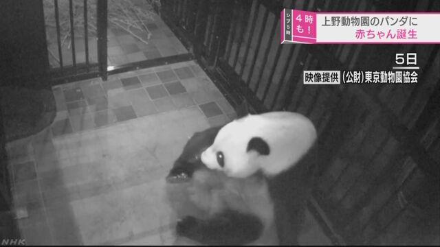 上野動物園でパンダの赤ちゃんが生まれる