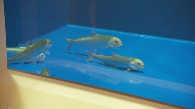 田沢湖からいなくなった魚「クニマスが帰ってきた」