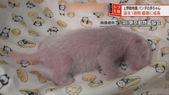 上野動物園 パンダの赤ちゃんは元気に大きくなっている