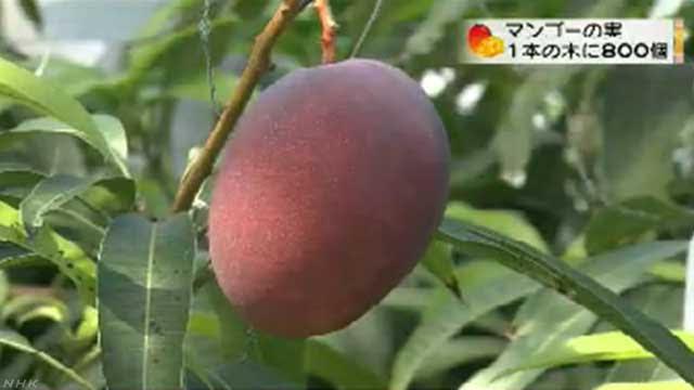 沖縄県 1本の木に800個のマンゴーができる
