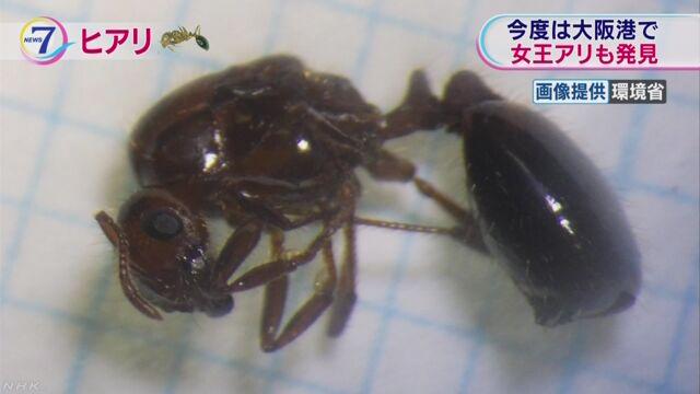 大阪にもヒアリがいた 女王アリも初めて見つかった
