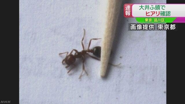 東京の港でも「ヒアリ」が見つかる