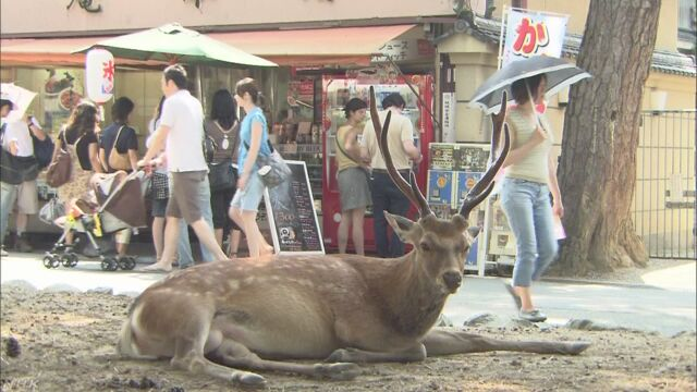 奈良市の郊外で畑の野菜を食べる鹿を捕まえる