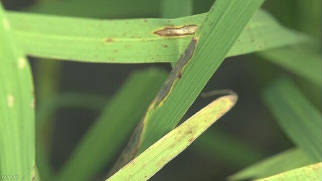 宮城県と福島県 晴れた日が少なくて稲の病気が心配