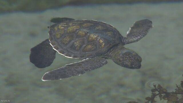 沖縄県 「クロウミガメ」の赤ちゃんが生まれる