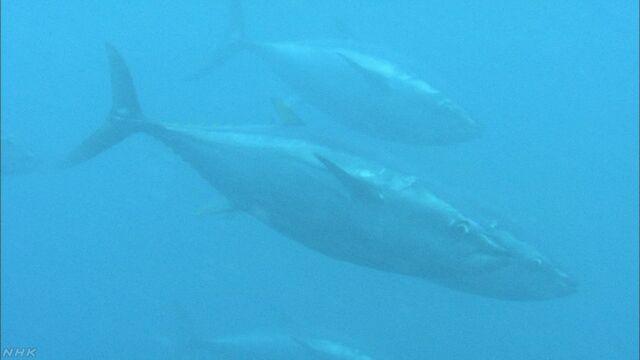 大西洋や地中海のクロマグロが少しずつ増えている