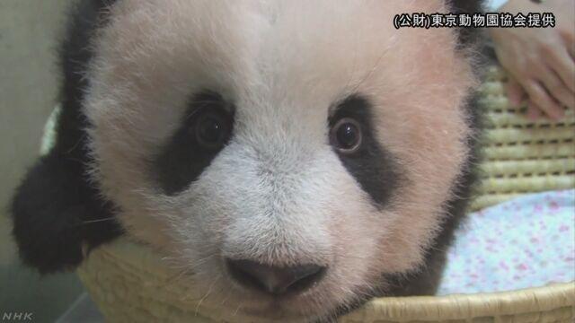 パンダのシャンシャン 母親の後ろをついて歩く