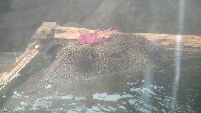 栃木県の動物園のカピバラ もみじが入ったお風呂に入る