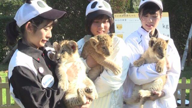 和歌山県の動物園 3匹のライオンの赤ちゃんが大きくなる