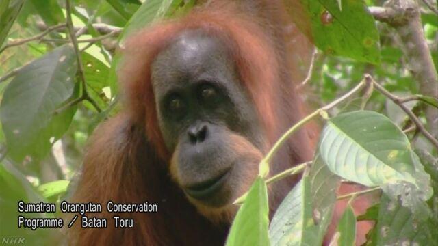 インドネシアで新しい種類のオランウータンが見つかる