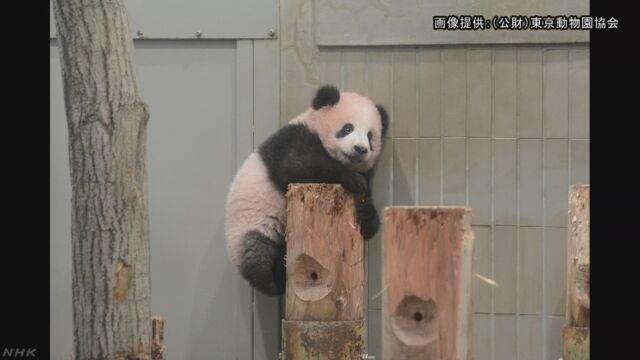 パンダ「シャンシャン」誕生5か月 丸太によじ登る