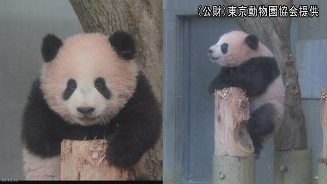上野動物園のパンダのシャンシャンが10kg以上になる
