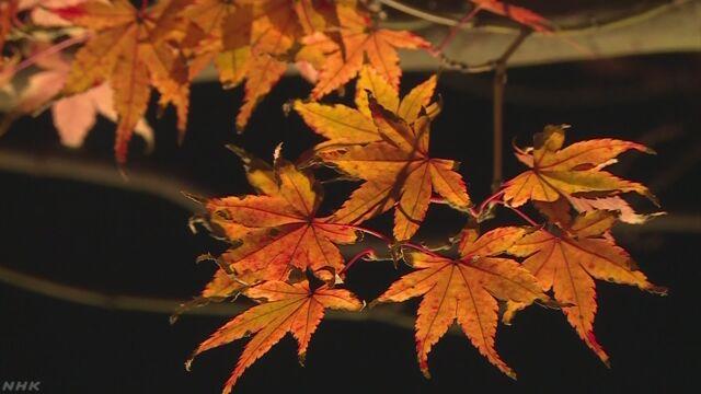 鎌倉の長谷寺 夕方になるとライトをつけて紅葉を楽しむ