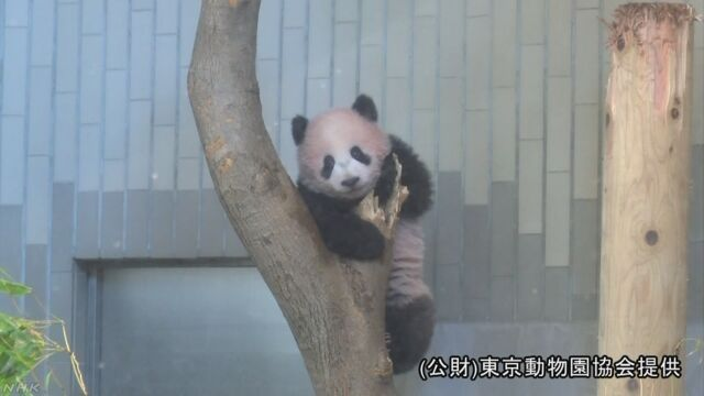 パンダの「シャンシャン」は19日から見ることができる