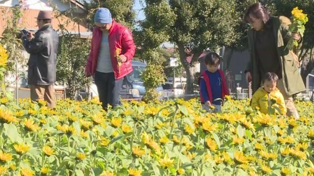 冬に咲くひまわり見ごろ 神奈川 寒川町
