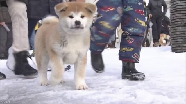 いぬ年に秋田犬と触れ合う「散歩初め」
