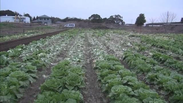 値段が高くなっている白菜が畑から約500個盗まれる