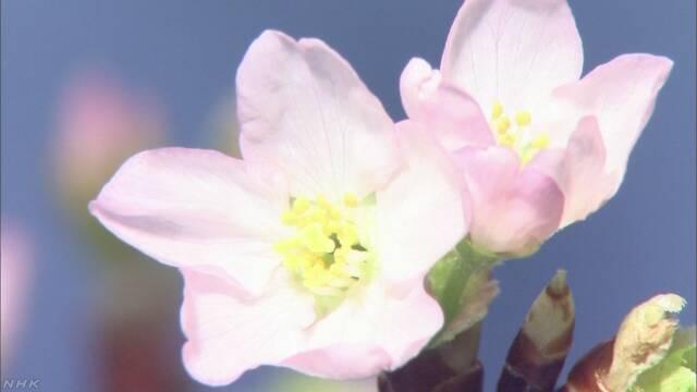 今年桜が咲く日の予想 「いつもの年とほとんど同じ」