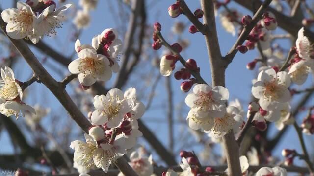 早咲きの梅が見頃 神奈川 小田原