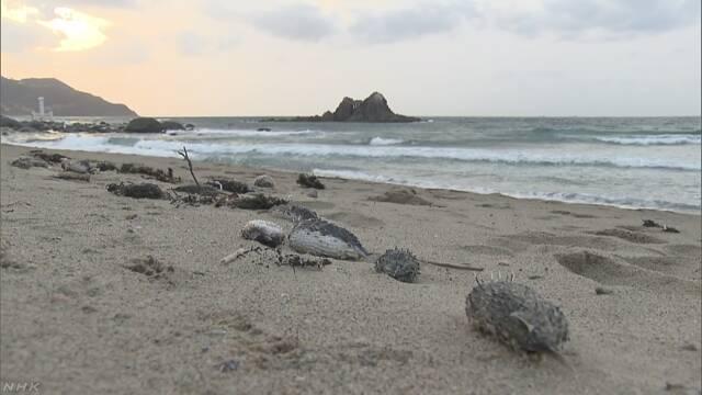 ハリセンボンが海岸で大量死  寒さで活動鈍ったか