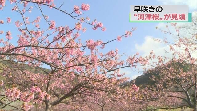 千葉県鋸南町の「河津桜」がきれいに咲く