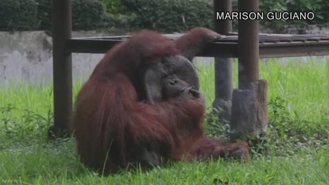 オランウータンが喫煙 動物園とたばこ投入の来園者に非難