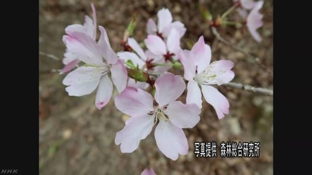 紀伊半島で新しい野生の桜が見つかる