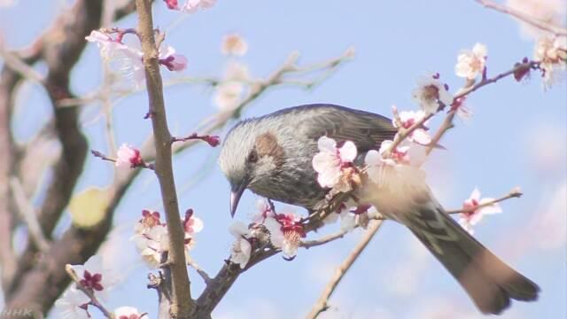 暖かい日が続いて桜が咲く日が早くなりそう
