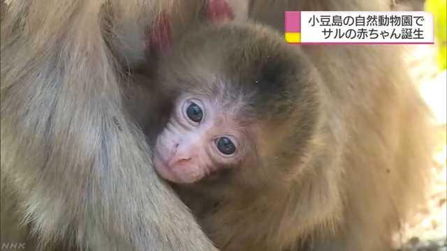 香川県の小豆島 猿の赤ちゃんが生まれる季節