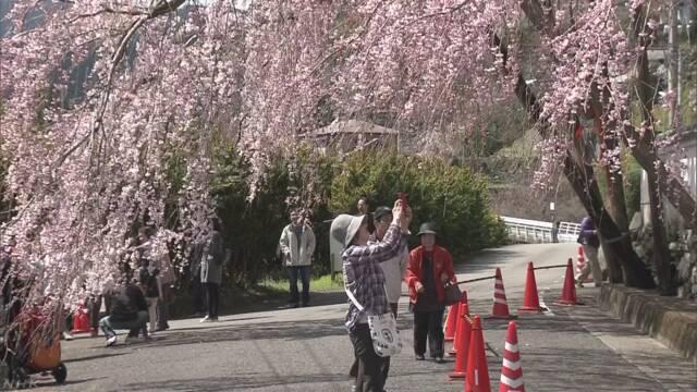 樹齢100年しだれ桜 ほぼ満開 徳島 神山町
