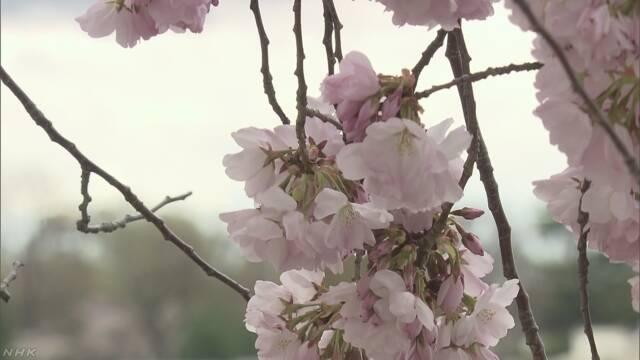 アメリカのワシントンで東京からもらった桜の花が咲く