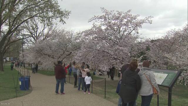 ワシントンで日本から寄贈の桜が見頃
