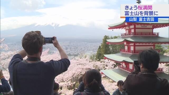 山梨 富士吉田で桜満開 富士山とのコントラスト楽しむ