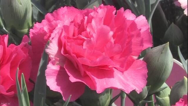 もうすぐ「母の日」 カーネーションの花を市場に送る