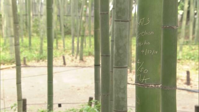 「竹林の散策路」約100本の竹に文字のような傷 京都 嵐山