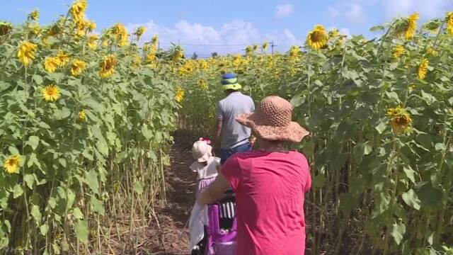 沖縄県 高校生が作ったひまわりの迷路を家族で楽しむ