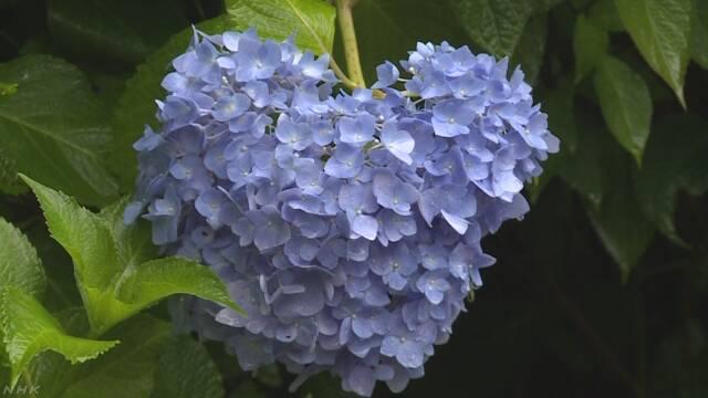 京都の三室戸寺 1万株のあじさいが咲く
