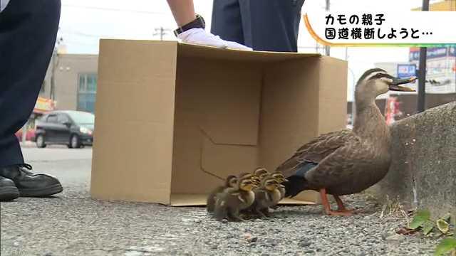 道を渡ろうとしたカモの親と赤ちゃんを警官が案内する