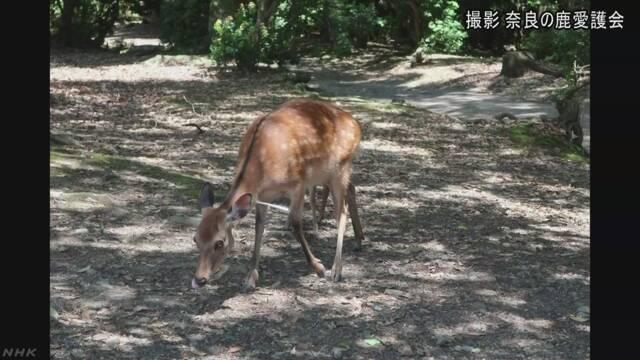 奈良公園で矢のような物が刺さった鹿が見つかる