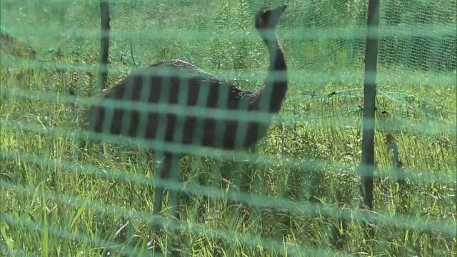 岐阜県 飼っていたエミューが逃げて17日あとに捕まえる