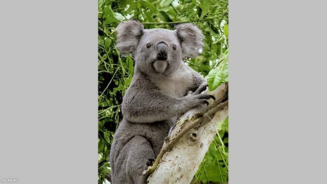 オーストラリアの島で餌が足りなくてたくさんのコアラが死ぬ