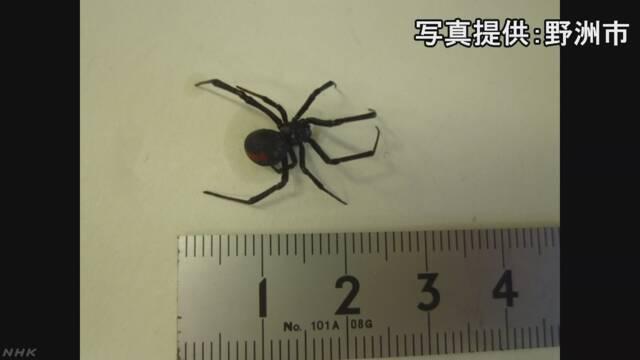 滋賀県で毒を持つセアカゴケグモが300匹見つかる